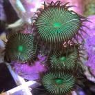 Green Button Polyps