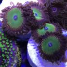 Candy Apple Red Zoanthids