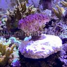 Single Frag Mount by Natural Reef Habitats