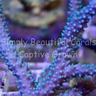 SBC Elven Blue Stag with Green Polyps