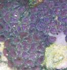 Purple Death Palys