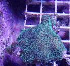 Lettuce / Cactus Coral
